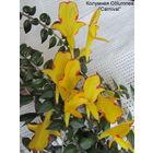Колумнея C.Сarnival -цветущее растение!