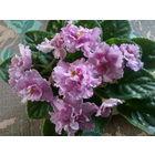 Фиалка темно-розовая с фиолетовыми крапинками на лепестках, махровая, с волнистыми краями лепестков, продолжительное цветение - свежесрезанный листок