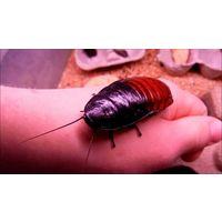 Тараканы Gromphadorhina portentosa (мадагаскарские шипящие)