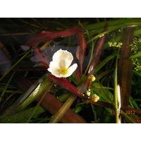 Аквариумные растения Эхинодорус Уругвайский