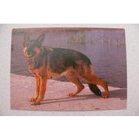 Календарик, 1996, Собаки, овчарка.