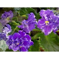 """Фиалка сортовая """"Таинственный знак"""" - темно-фиолетовая, махровая, с легкой белой окантовкой по краям лепестков, очень крупная"""