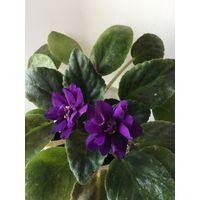 Фиалка красивая пушистая фиолетовая фиалочка цветёт