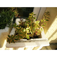 Суккулент Crassula sarmentosa variegata