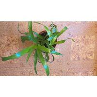 Растение бильбергия с Гавайев, цаеток в 3 уровня