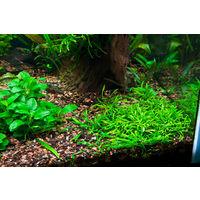 Аквариумные растения Криптокорина парва  (Cryptocoryne parva)