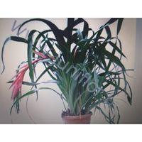 Растение с Гавайев, в горшке с корнями  и землей