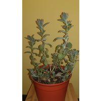 Каланхоэ войлочное растения цветочный горшок