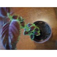 Растение Колеус в горшочке