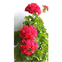 Пеларгония зональная Rosebud Supreme