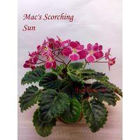 Фиалка полумини Mac's Scorching Sun -  детка крупная  (фото в лоте)