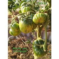 Семена томата Красавица колледжа (Belle du College)