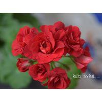 Плющелистная пеларгония Red Sybil