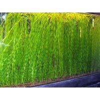 Аквариумные растения Валлиснерия спиральная