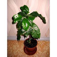 Кофейное дерево ( Арабика) . 4 точки роста