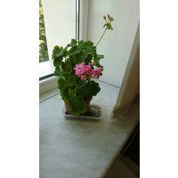 Пеларгония розебудная Australian Pink Rosebud