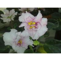 Фиалка бело-розовая, середина цветка затемнена вишневым тоном, махровая, очень крупная
