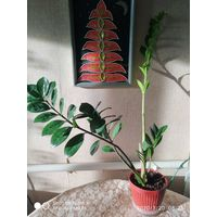Замиокулькас (Долларовое дерево)