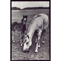 19885 год Лошади в леваде