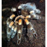 Brachypelma smithi паук-птицеед