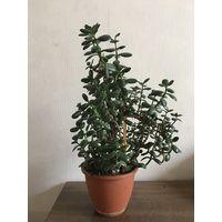 Толстянка красула денежное дерево большое здоровое растение интересной формы