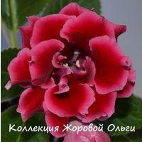 Глоксиния Богемия (св.лист)