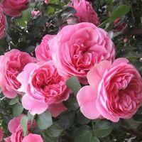 Роза плетущая Лвиния
