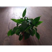 Цветок - Спатифиллум Мини