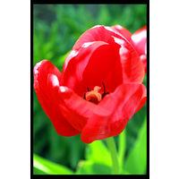 10 луковиц красных тюльпанов + детки в подарок