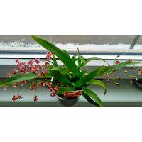 Орхидея Онцидиум Твинкль малиновый, ароматный