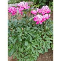 Многолетние цветы: пионы розовые красные.