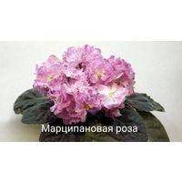 Фиалка Марципановая роза