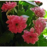 Каланхоэ Блосфельда розовое и красное