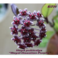 Хойя 	Hoya pubicalyx  Royal Hawaiian Purple