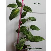 Хойя Hoya fitchii