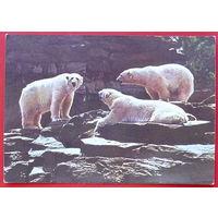 ГДР. Белые медведи.  Чистая.