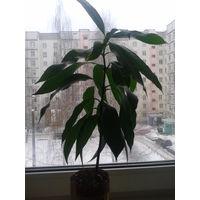 Деревья манго 1 год