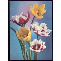 1978 год Г.Костенко Тюльпаны чист