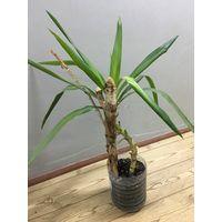 Юкка пальма взрослое растение