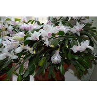 Растение Декабрист, цветет белыми цветами
