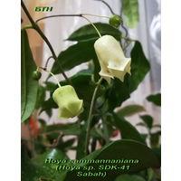 Хойя Hoya sammannaniana (Hoya sp. SDK-41 Sabah)