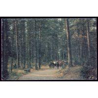 Беловежская пуща Прогулка в сосновом лесу