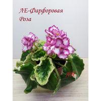 Фиалка ЛЕ-Фарфоровая Роза  2017  полумини  - св. лист