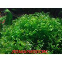 Аквариумные растения. Ломариопсис. НАБОРЫ растений для запуска. ПОЧТОЙ и МАРШРУТКОЙ отправлю.