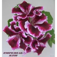 Пеларгония  Imperial - взрослое растение
