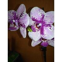 Орхидея Frontera