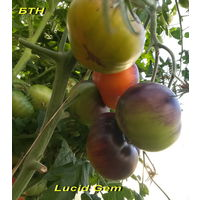 Семена томата Яркий самоцвет (Lucid Gem)