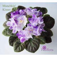 Munchkin kisses фиалка (мини) - взрослое растение.