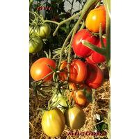 Семена томата Айсберг