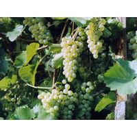 Саженцы винограда. Галахад